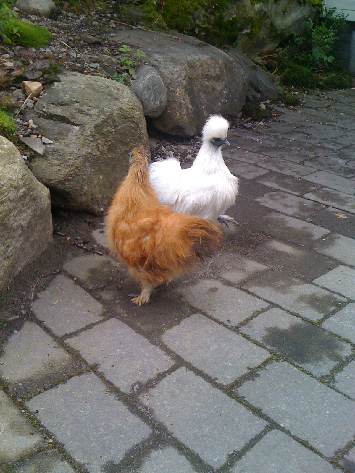 fra kylling til høne