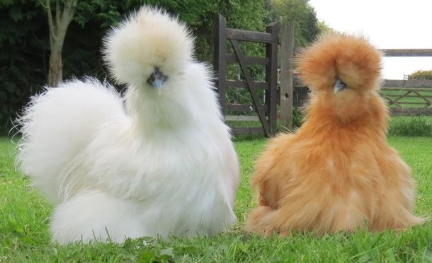 silkie-chickens--30013.jpg